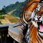 harimau-lpt-2