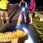 tiger_highway_600