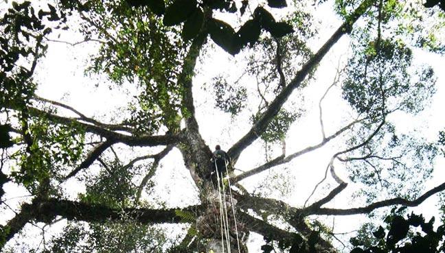 pokok-balak