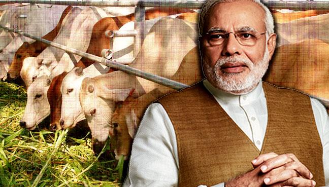 Narendra-Modi_lembu_600