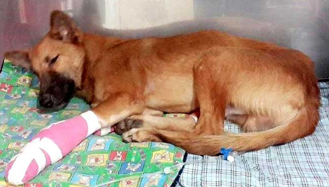 Puppy gets prosthetic legs after neighbour cuts them off with a sword