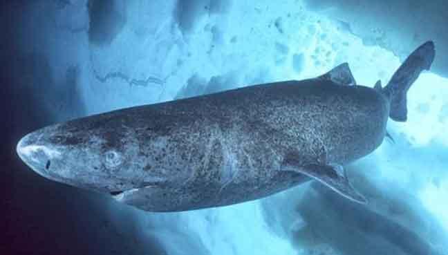 Greenland sharks may l...