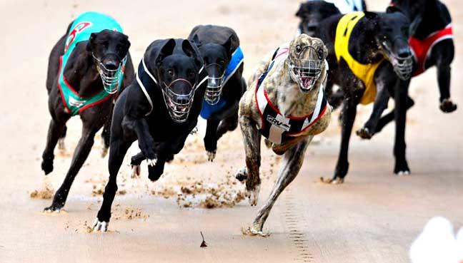 greyhound-race