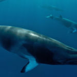 Japan seeks a quota for minke whales in the West Pacific, and argues that stock numbers can sustain small hunts.