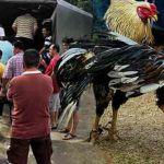 FMT,-Malaysia,-Sarawak,-cockfight,-Mazlan-Mansor,-police-raid,-Kota-Samarahan,-cruelty-to-animals