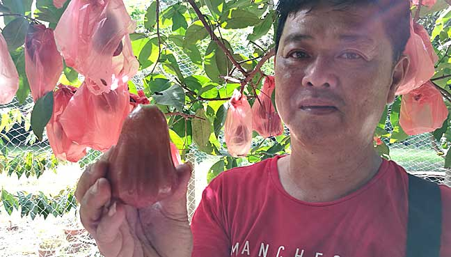 K K Cheng, a fellow fisherman shows a pink guava from the fruit farm outside the jetty.