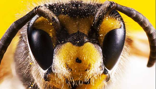 Bees-can-see-much-better-than-thought