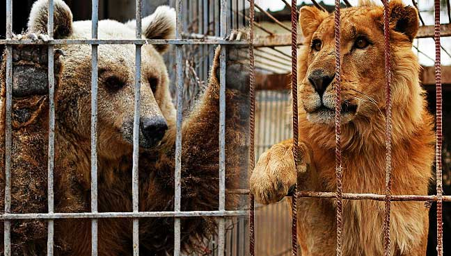 Mosul-zoo-lion-and-bear-flown-out-of-Iraq