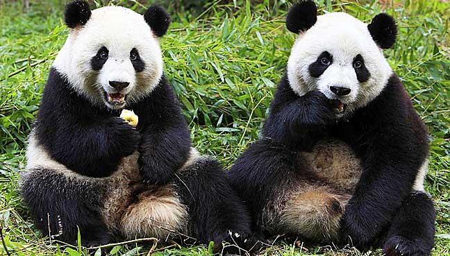 dutch panda mania as giant bears arrive from china free