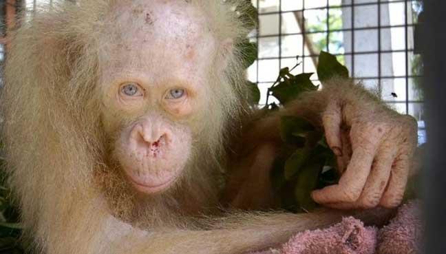 albino-orang-utan