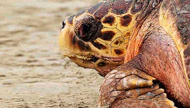 turtle-sabah