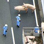pig-japan