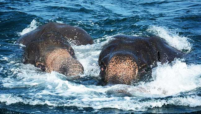 Sri Lankan Navy leads rescue operation to save two elephants from drowning