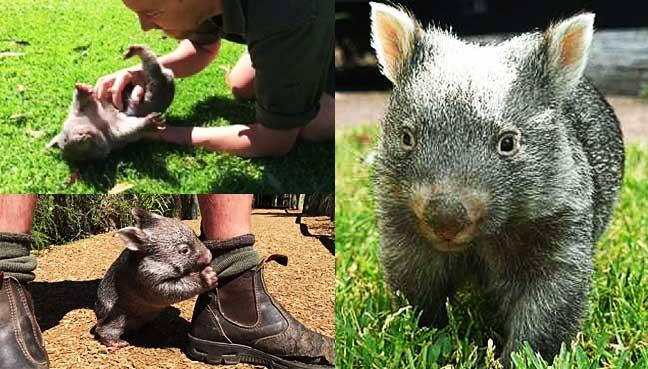 George-the-wombat