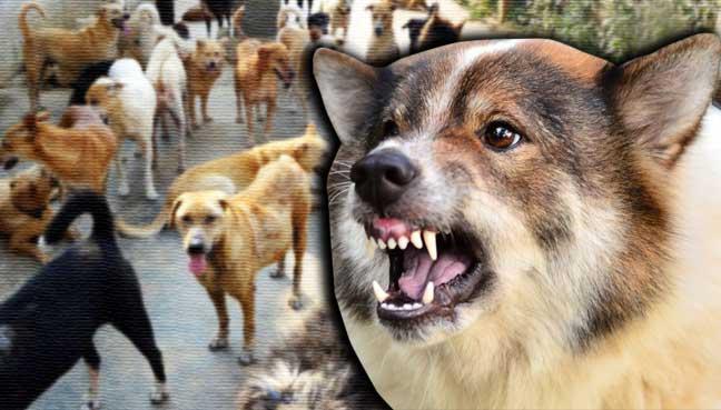 anjing-rabies-berkeliaran