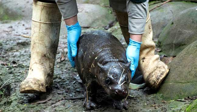 baby-pygmy-hippo