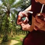 dadah-ladang-kelapa-sawit-sarawak