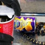 king-cobras-in-potato-chip-cans
