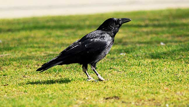 New study gives ravens something to crow about