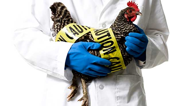 Philippines to cull 400000 fouls after bird flu outbreak