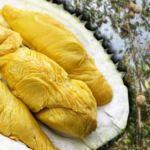 durian-musang-king