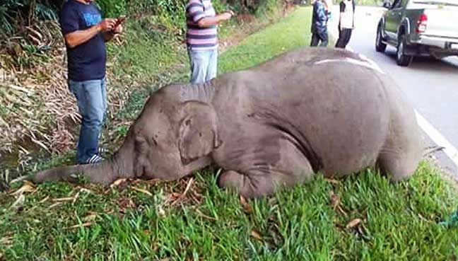 Elephant hit by tourist bus in Malaysia dies | Free