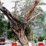 130-years-old-tree