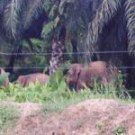 gajah-sabah