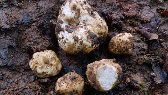 Scientists sniff out Thailand's first truffle species