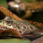 frog-AFP