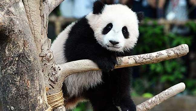 nuan-nuan-anak-panda-malaysia