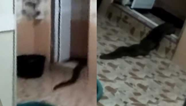 'Giant leech' that crawled out of toilet identified as a snake