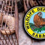 Sabah-Wildlife_tenggiling_600