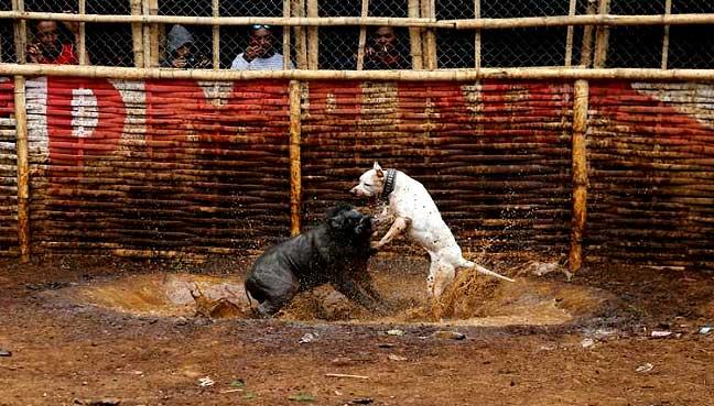 dog-boar-fight
