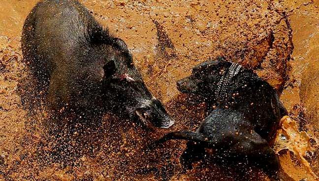 dog-vs-wild-boar