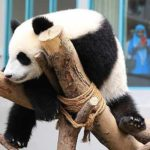 panda-balik-china