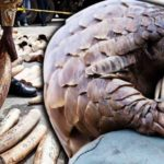 pangolin-ivory-elephant