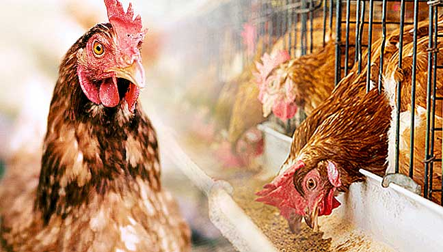 Malaysia to import poultry from Indonesia | Free Malaysia Today
