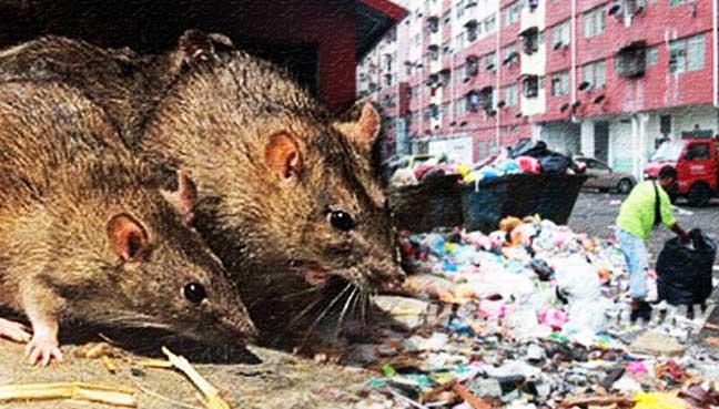 tikus_rats_600