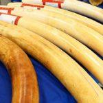 Zimbabwe-seizes-200kg-of-ivory-destined-for-Malaysia-1