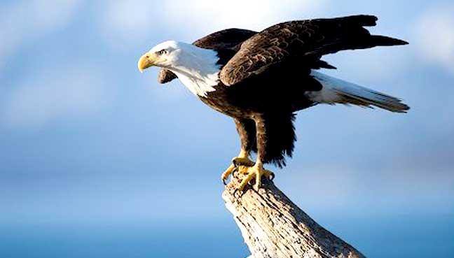 eagle561