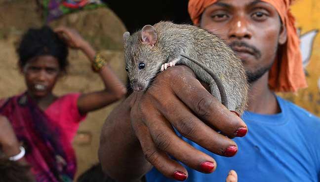rat-eater-bihar