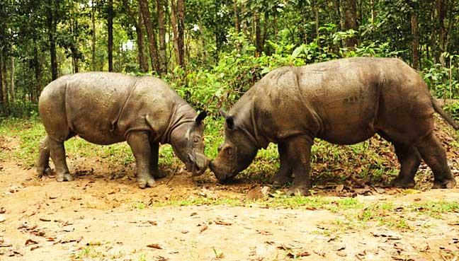 Sumatran-rhinos