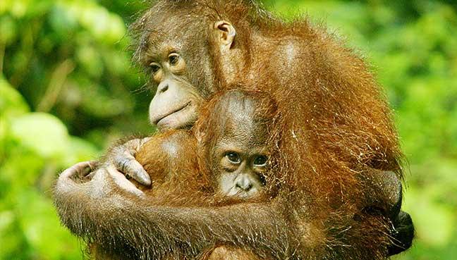 In a photograph taken in 2004, an orangutan holds its baby at the Sepilok Orangutan Rehabilitation Centre in Sabah. Reuters Pic.