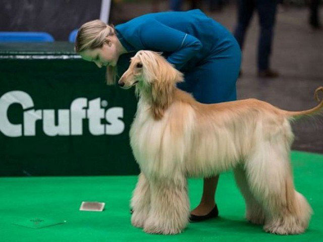 AFGHAN HOUND CRUFTS UK BIRMINGHAM DISABLED DOGS AFP PIC