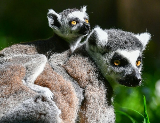 Lemurs can be found in forests across Madagascar. (AFP pic)