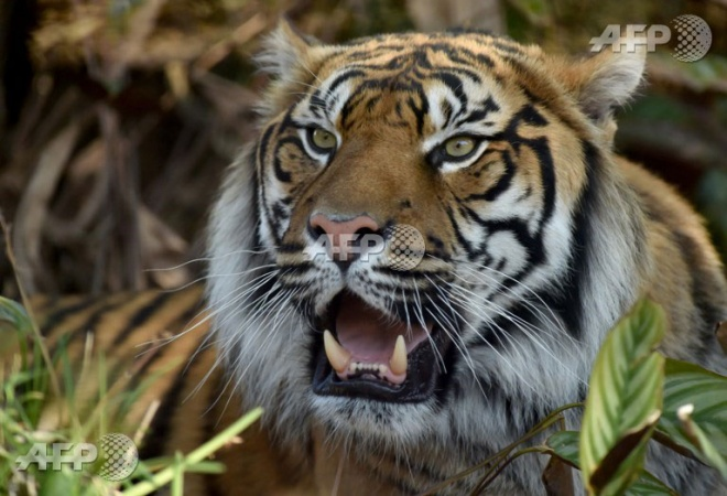 Endangered Sumatran tiger killed, disemboweled in Indonesia