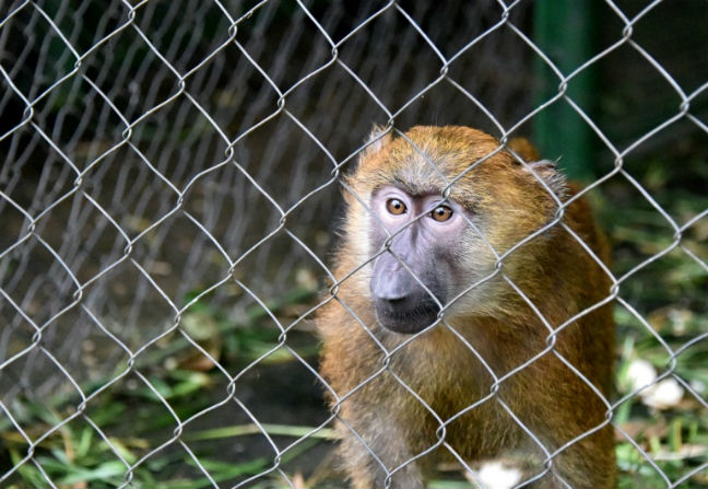 Baboons Escape Texas Biomedical Research Facility Free