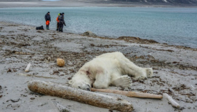 Polar bear shot after attacking cruise ship guard