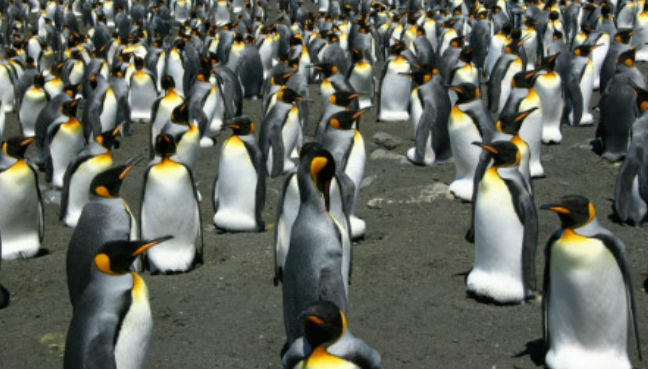 Largest king penguin colony shrinks 90 percent in 30 years